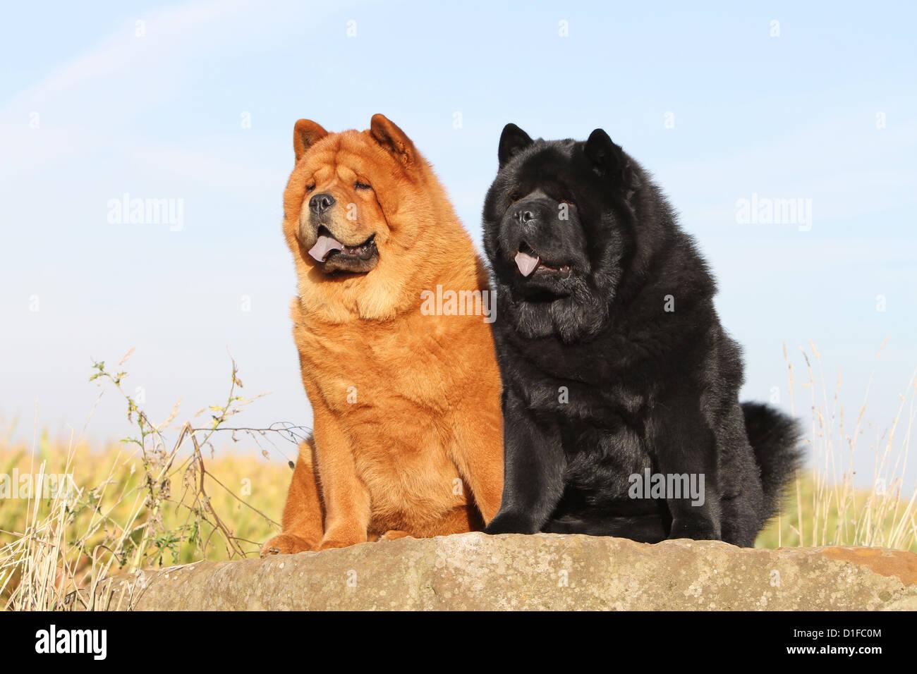 chow chow lion black - photo #9