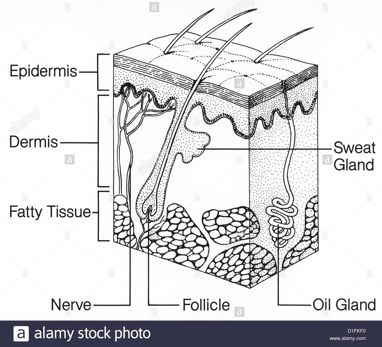 Illustration skin structure stock photo 52590356 alamy illustration skin structure pooptronica
