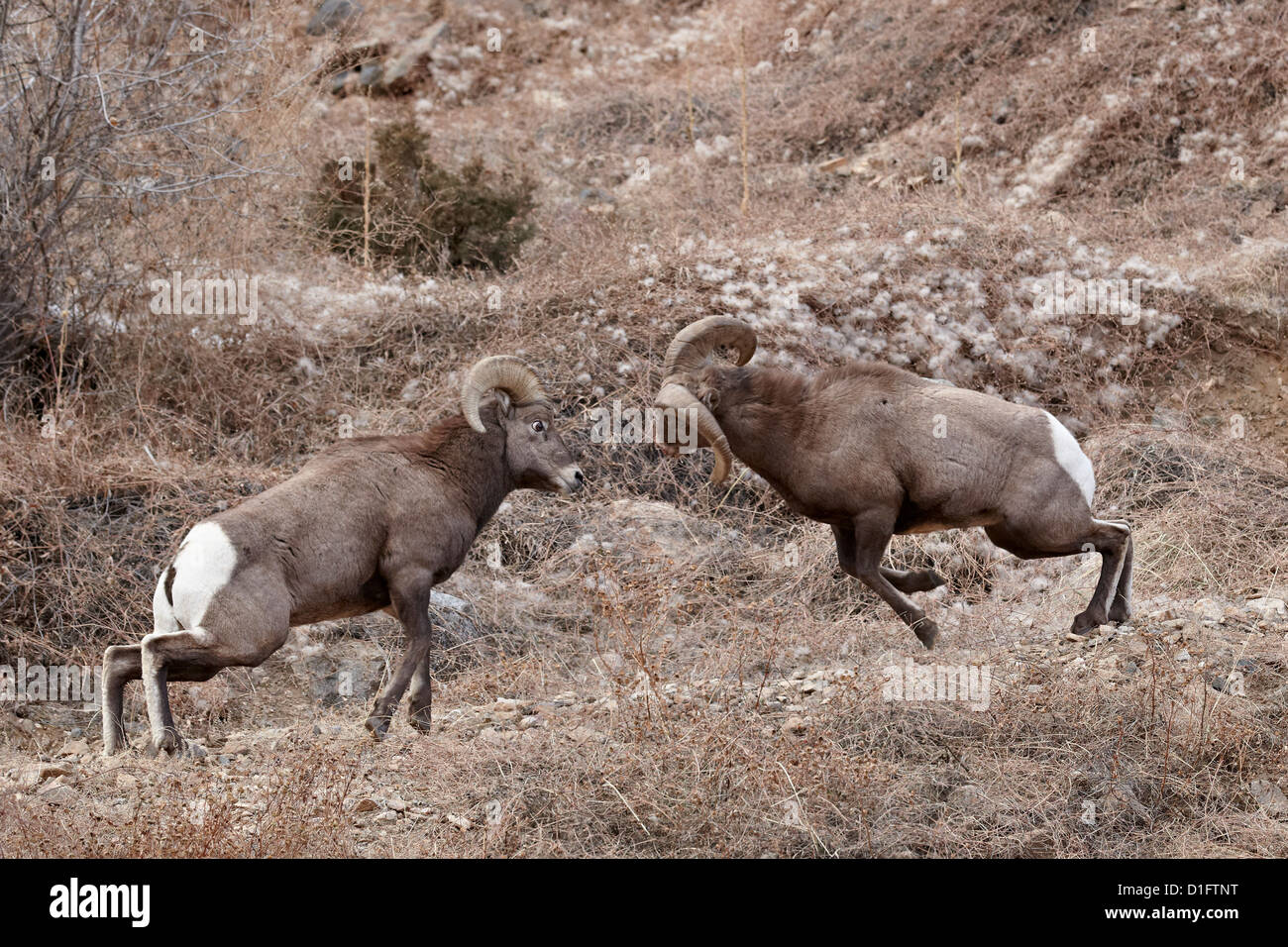 the background information of the bighorn sheep ovis candensis Another bighorn euthanized after contacting domestic sheep near challis a one-year-old bighorn sheep ram that mingled with domestic ovis canadensis idapa.