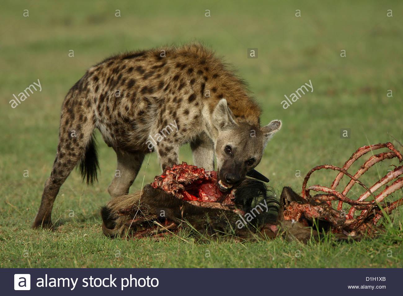 Hynie the laughing hyena   Kagori