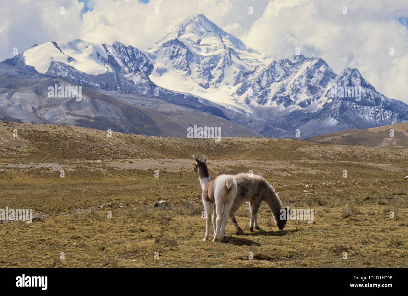 Llamas And Alpacas In The Andes Mountains Of Bolivia Stock Photo - Where are the andes mountains
