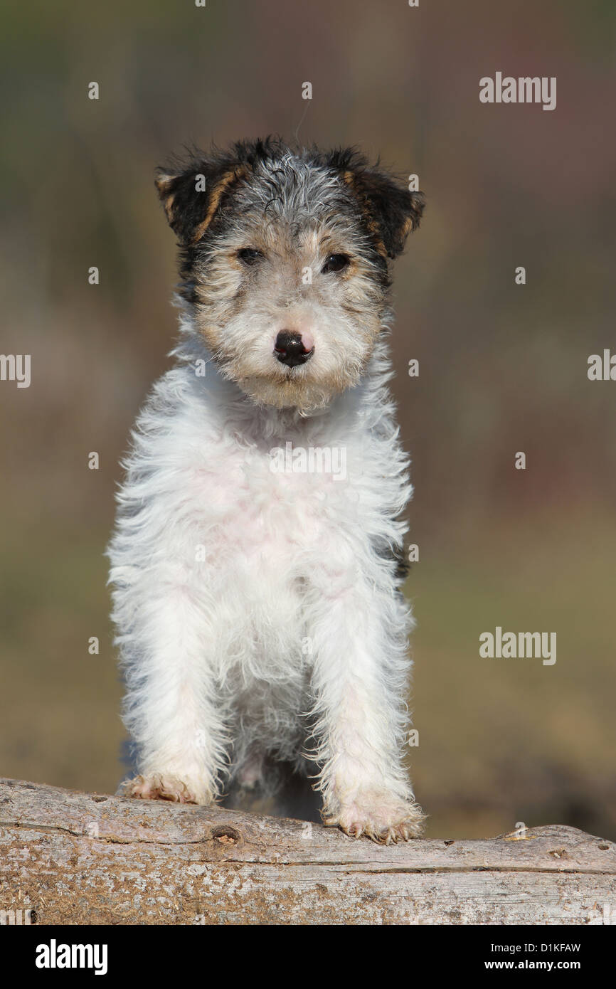 Dog Wire Fox Terrier Puppy on a wood Stock Photo, Royalty Free ...