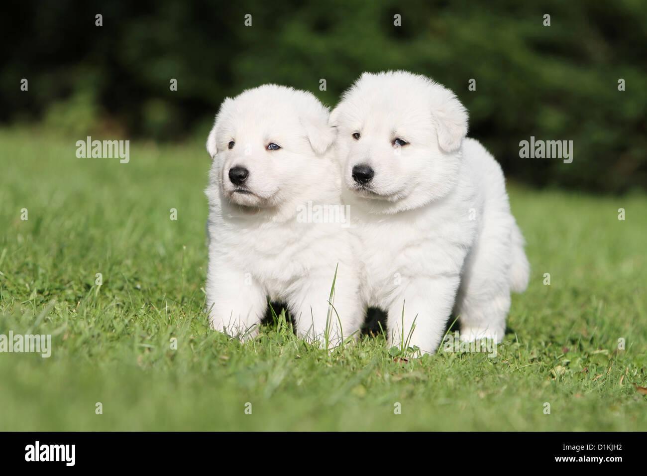 White Swiss Shepherd Dog Berger Blanc Suisse Two Puppies