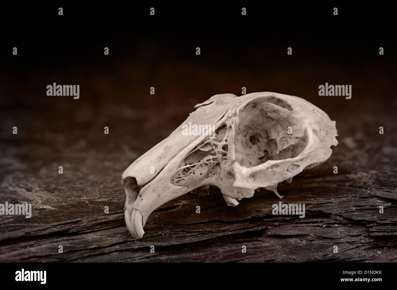 Rabbit skull anatomy