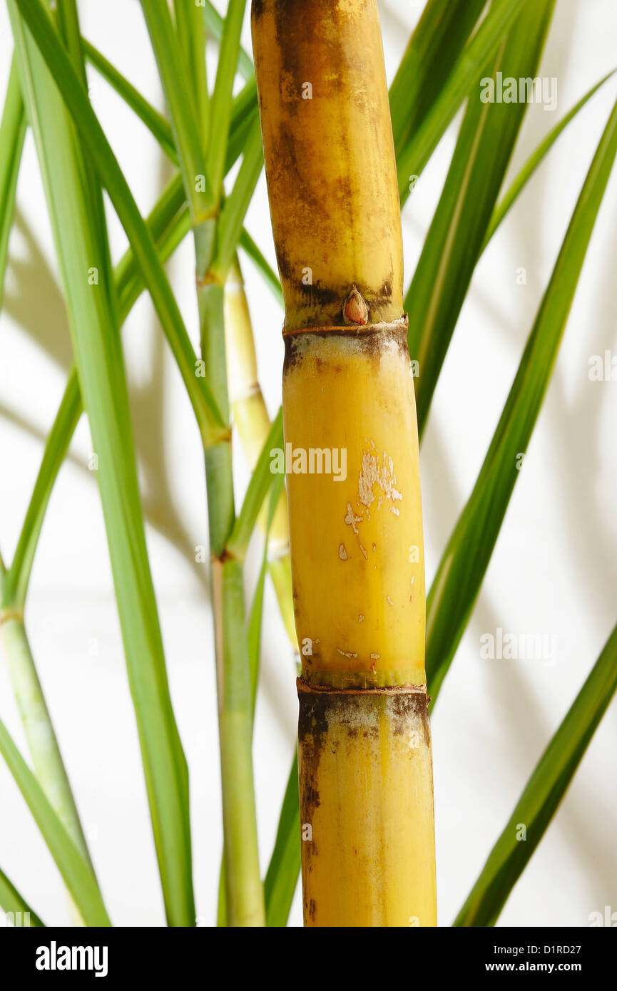 The Cane Grinding | THE OLD LADY AND THE PURPLE DRAGON |Sugar Cane Stalks