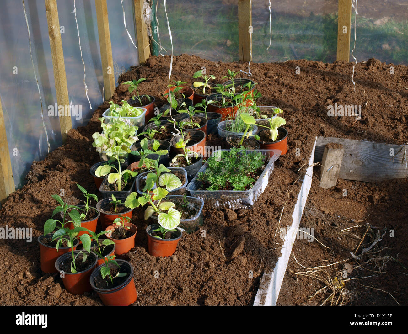 Vegetable Plants In Plastic Pots On Ground In Greenhouse, Ready For Planting