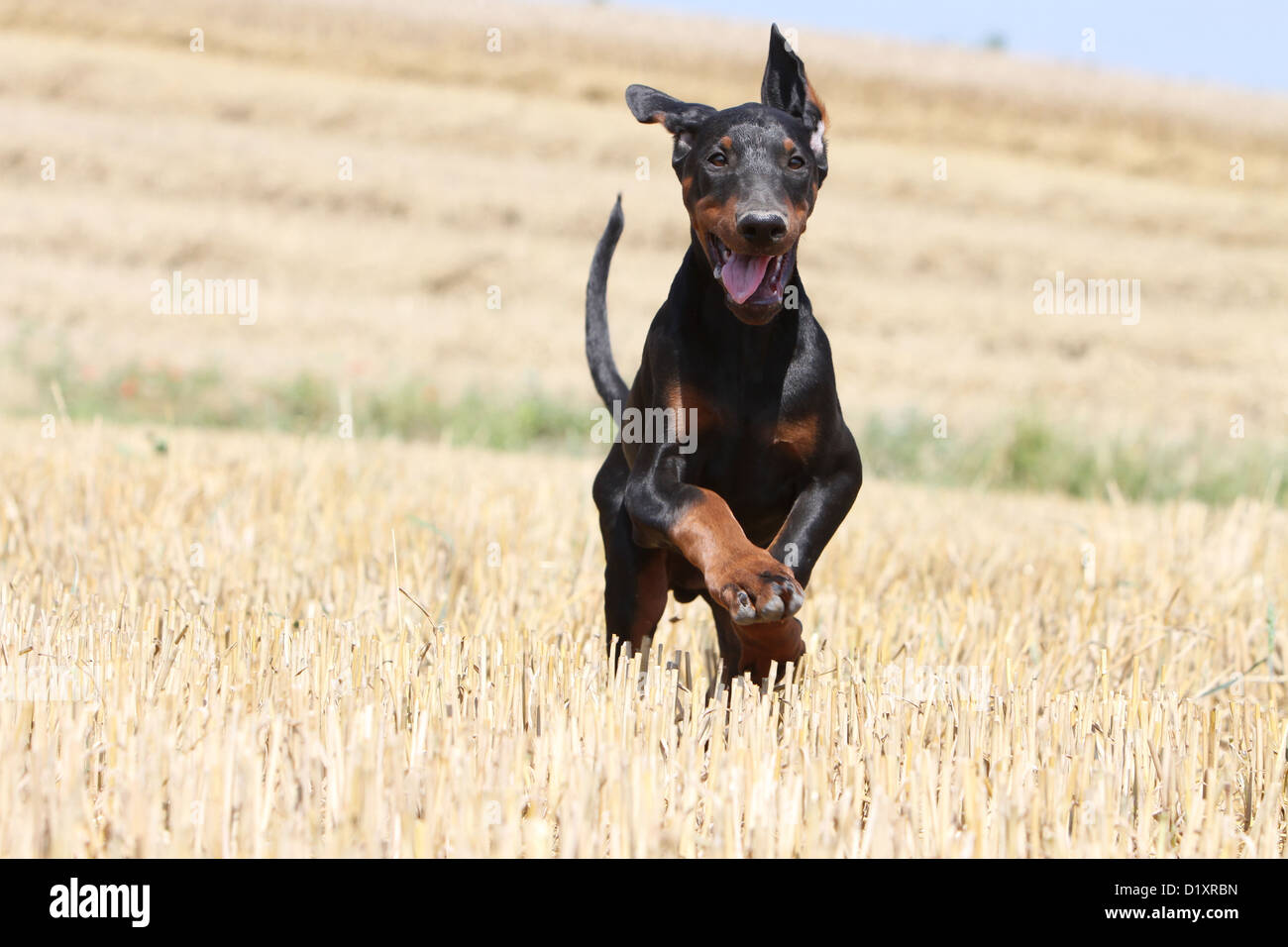 Pictures Of Doberman Pinscher With Uncropped Ears And Tail Rock Cafe
