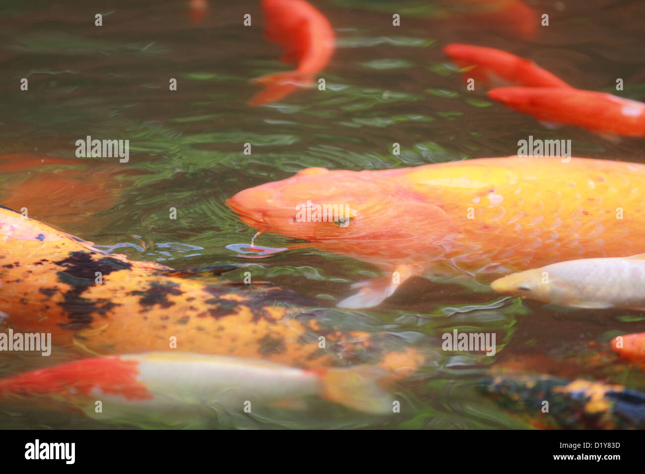 Koi fish in a pond stock photo royalty free image for Ornamental pond fish golden
