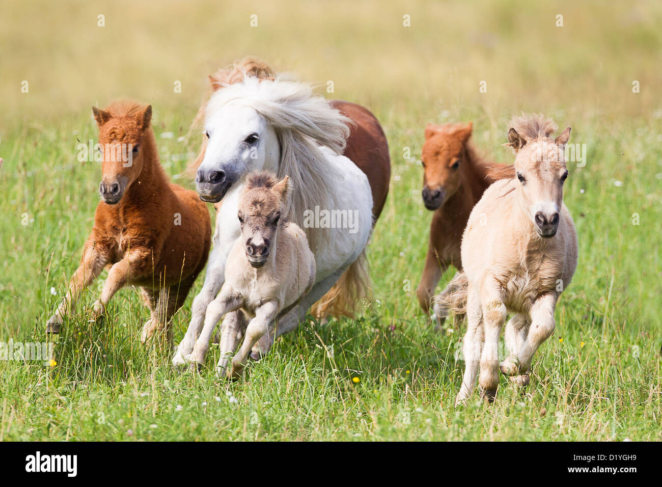 miniature shetland pony group of mares and foals in a gallop on a stock photo royalty free. Black Bedroom Furniture Sets. Home Design Ideas