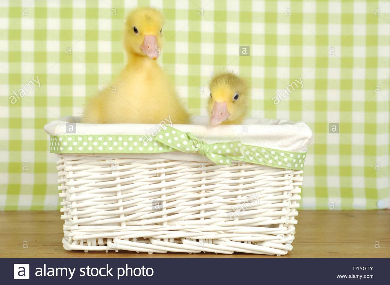 Domestic Goose, Pomeranian Goose. Two Gosling In A Wicker Basket