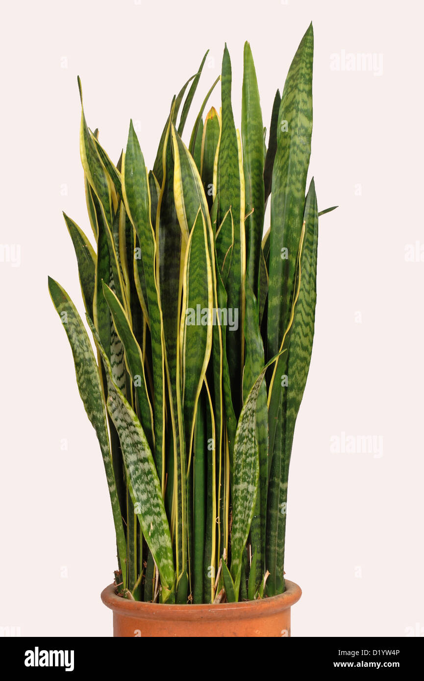 mother in law 39 s tongue or snake plant sanseviera trifasciata used