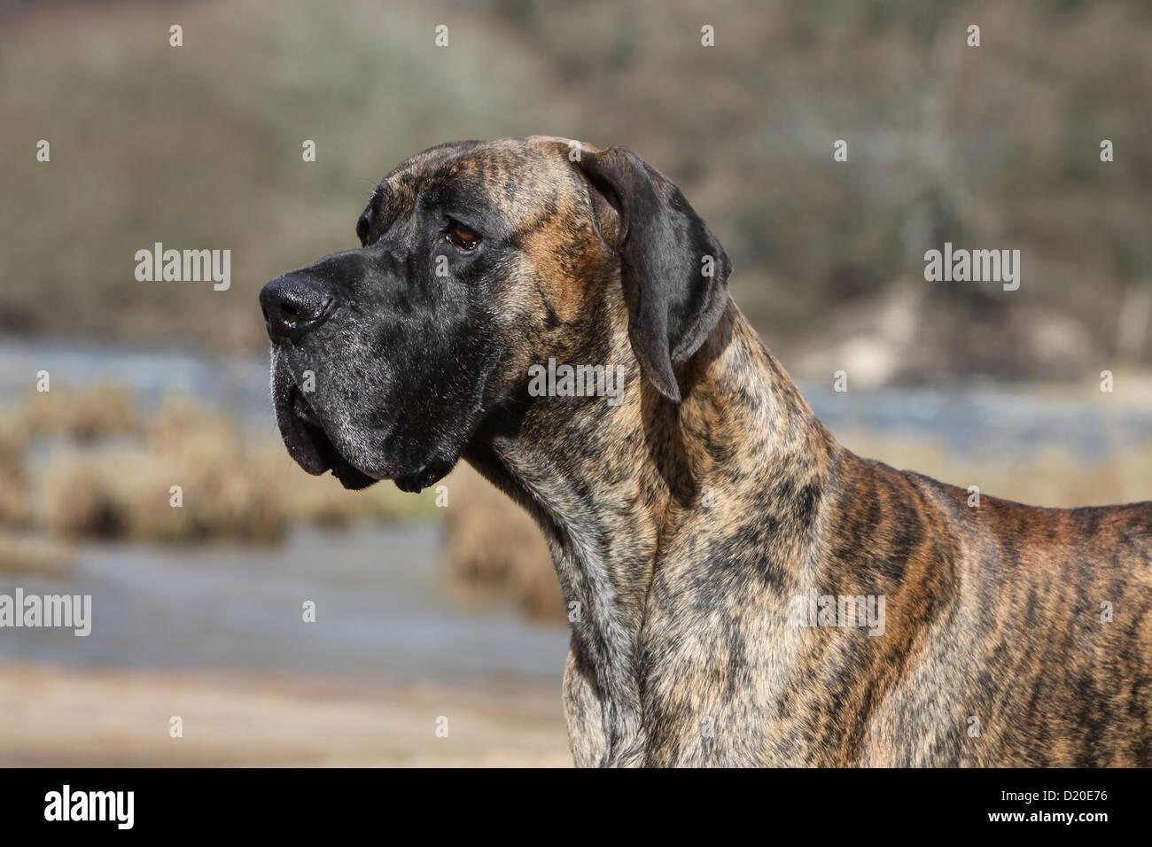 Deutsche dogge hгјndin