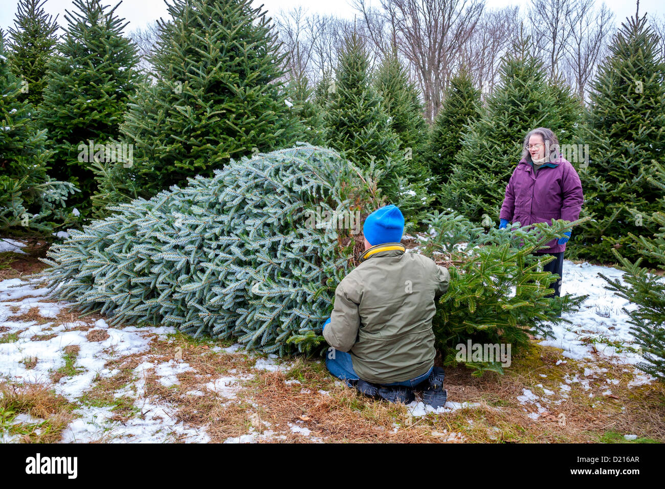 A Man And Woman Cut Down A Christmas Tree On A Christmas Tree Farm  - Christmas Trees To Cut Down