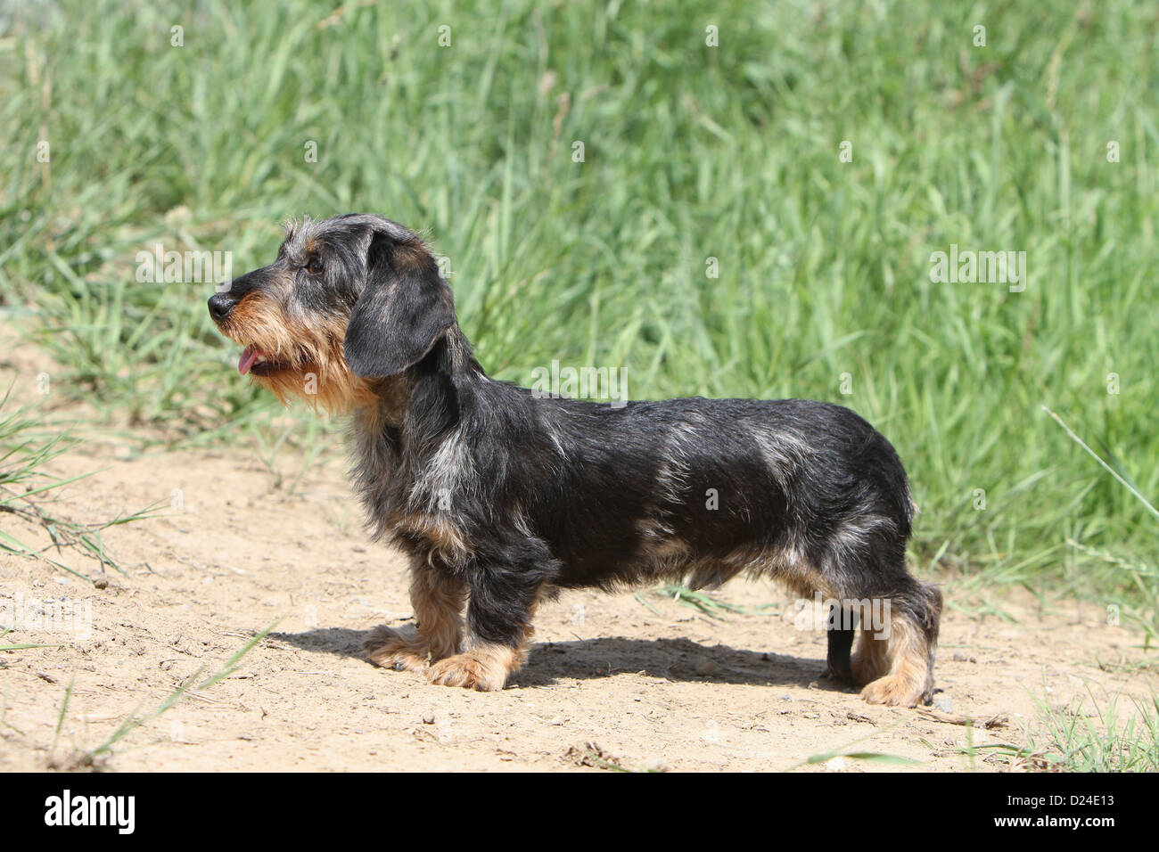 Dog Dachshund / Dackel...