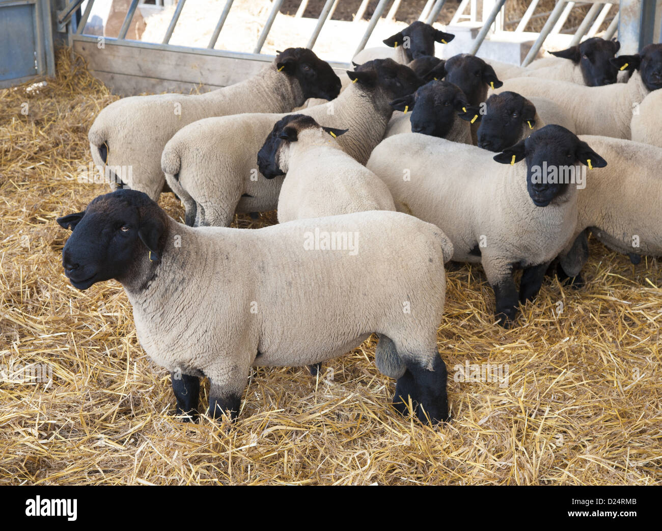 Domestic Sheep Suffolk Rams Flock Standing Inside Straw