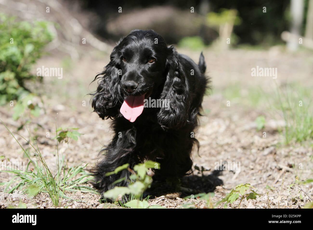 dog english cocker spaniel adult black running in a