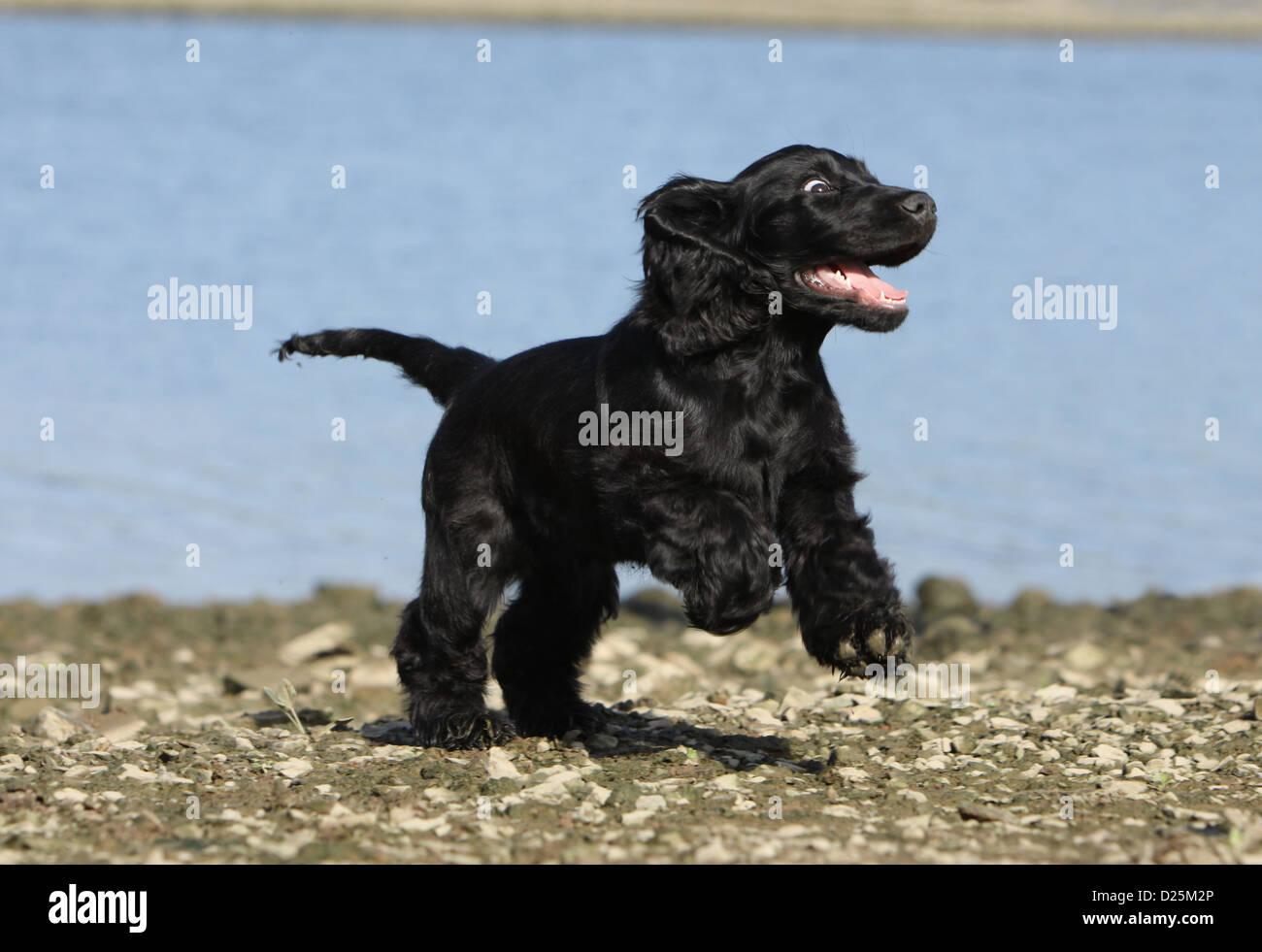 dog english cocker spaniel puppy black running on a