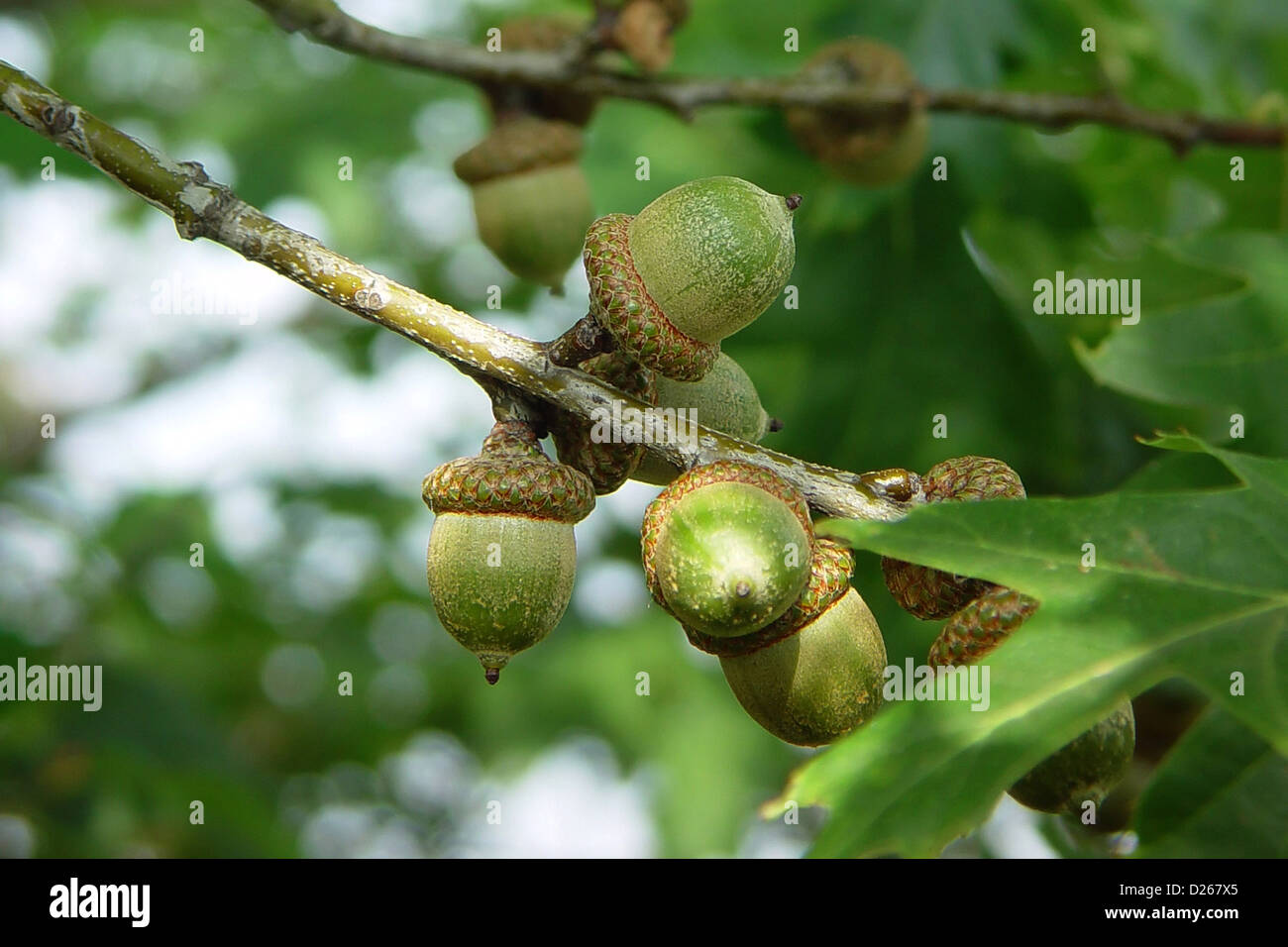 Red oak acorns images