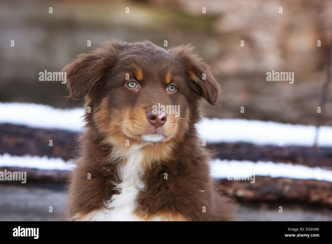 Miniature australian shepherd tri color puppy