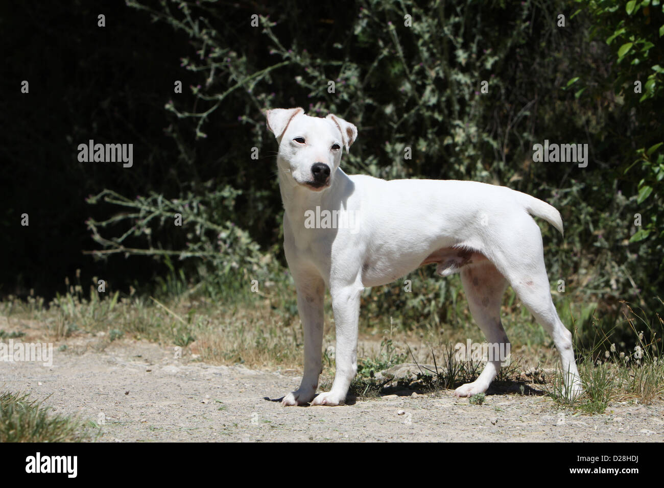 Dog Parson Russell Terrier Adult Smooth Coat White Standard Profile ... White Parson Russell Terrier