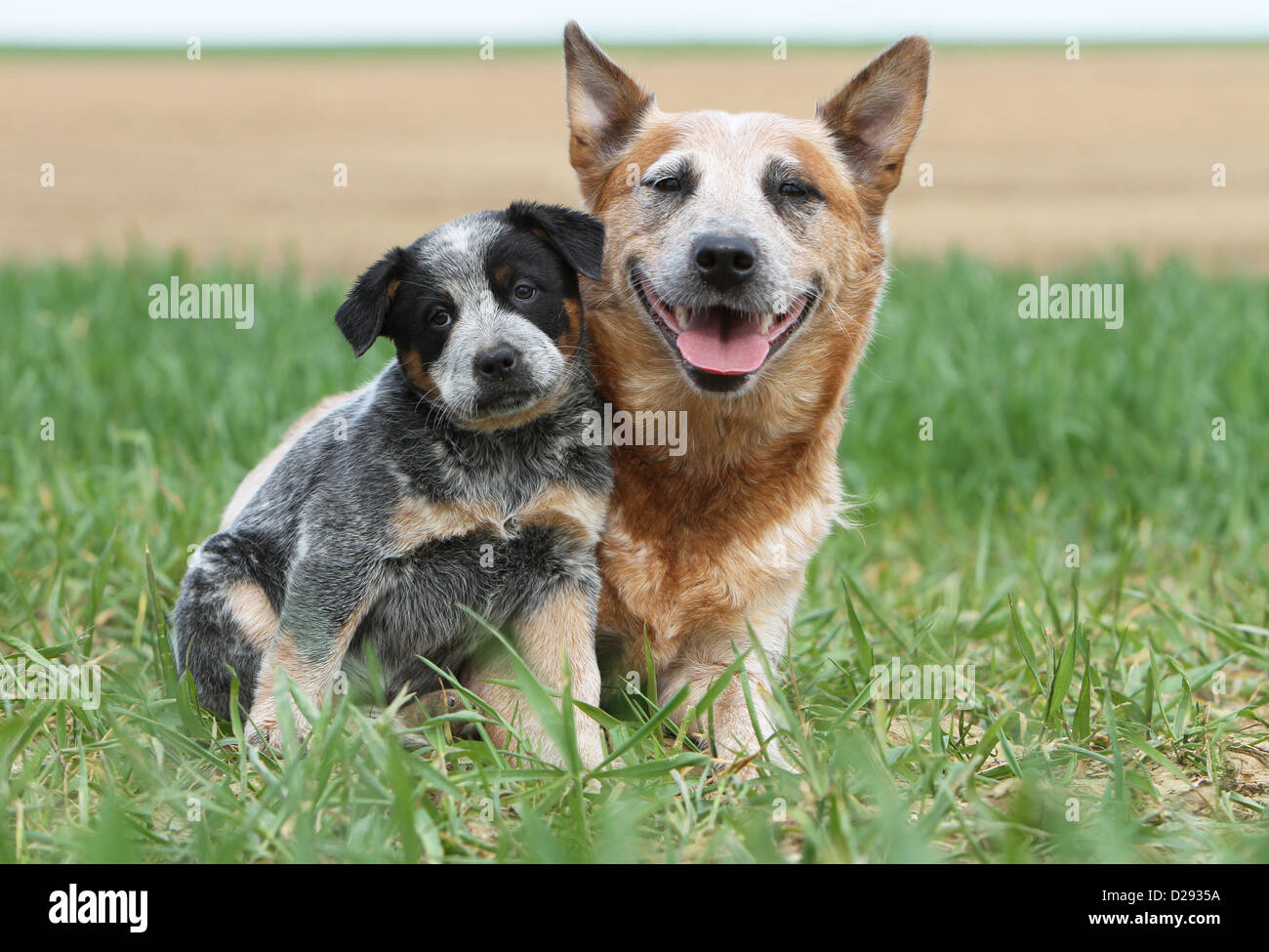 Dog Australian Cattle Dog adult and puppy (blue and red ...