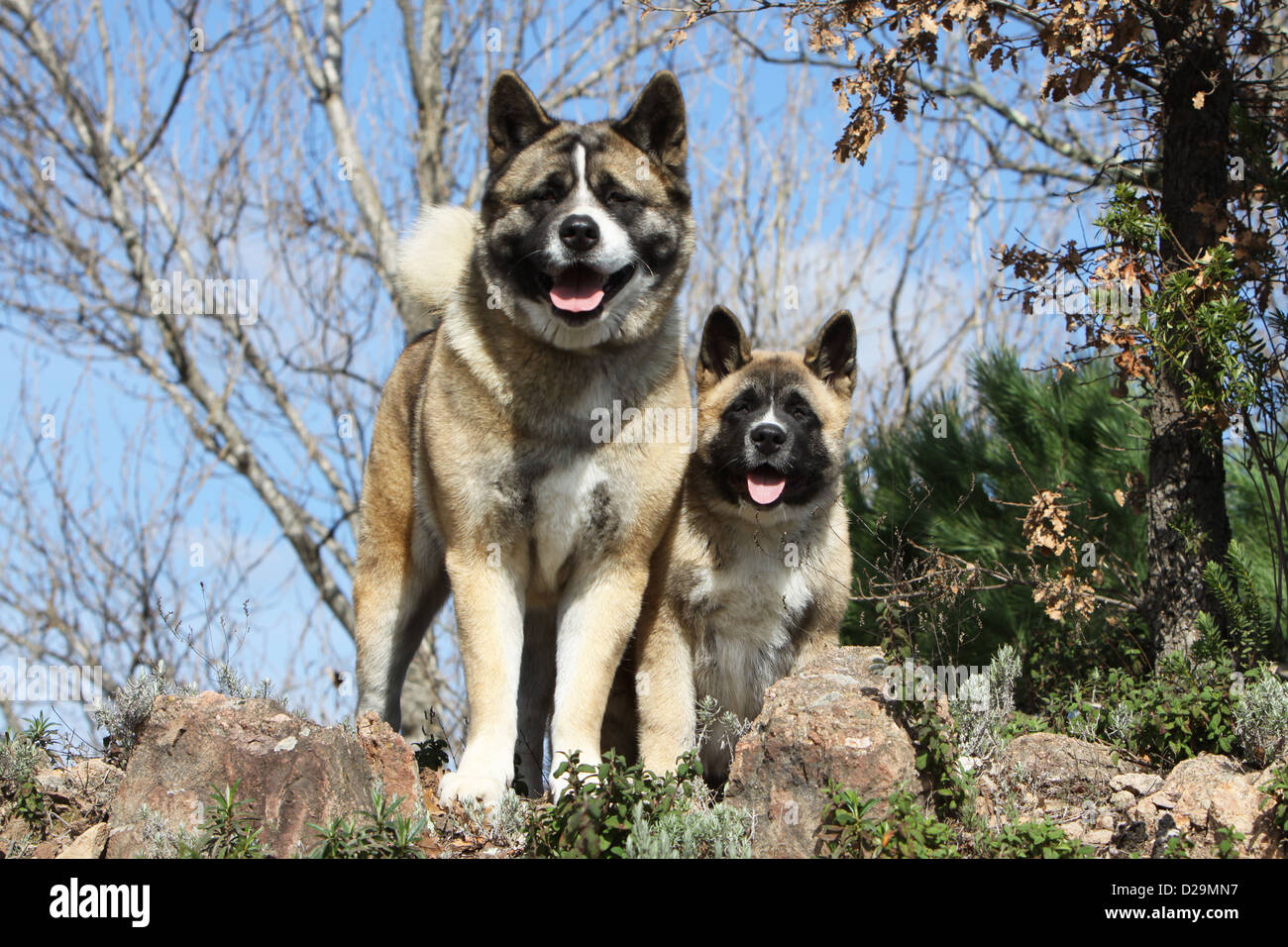 Dog American Akita Great Japanese Dog Adult And Puppy In
