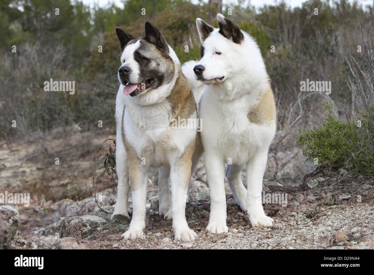 American Akita Dog | Breed Info | Characteristics | Traits