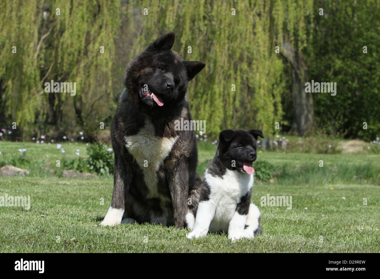 Akita Dog Breed Information, Buying Advice, Photos and more ...