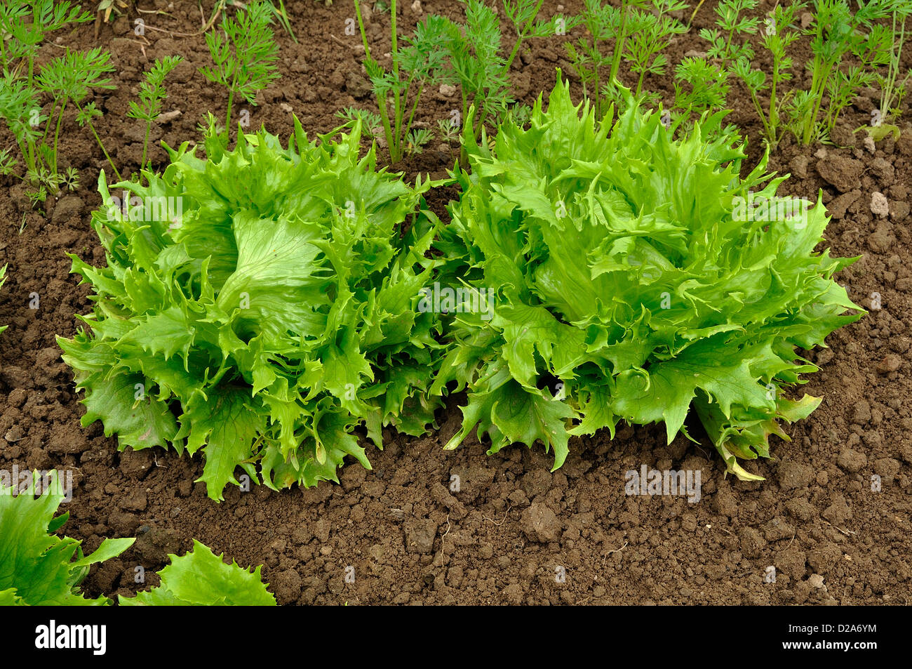 Batavia lettuce 39 reine des glaces 39 lactuca sativa growing in the stock photo royalty free - Salade reine des glaces ...