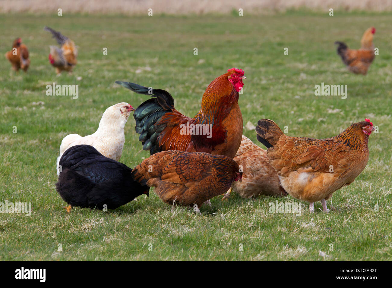 poultry chicken cocks chickens hens rooster blue big large