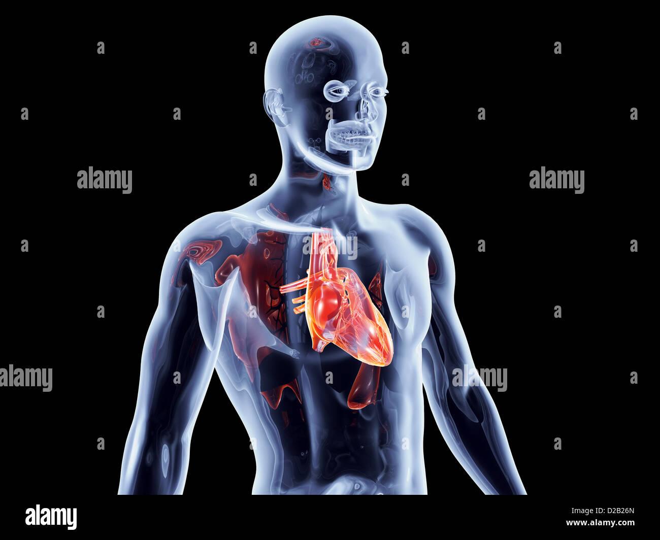 Gemütlich Kapitel 11 Anatomie Und Physiologie Antworten Bilder ...