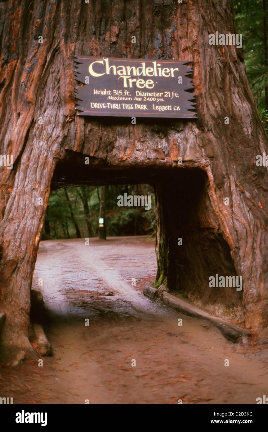 California. Leggett. Drive-Thru Tree Park. Chandelier Tree Stock ...