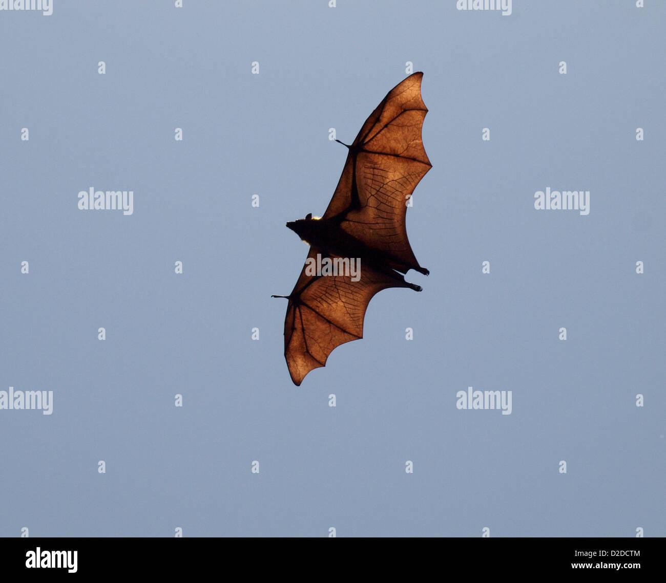Bat wing bones