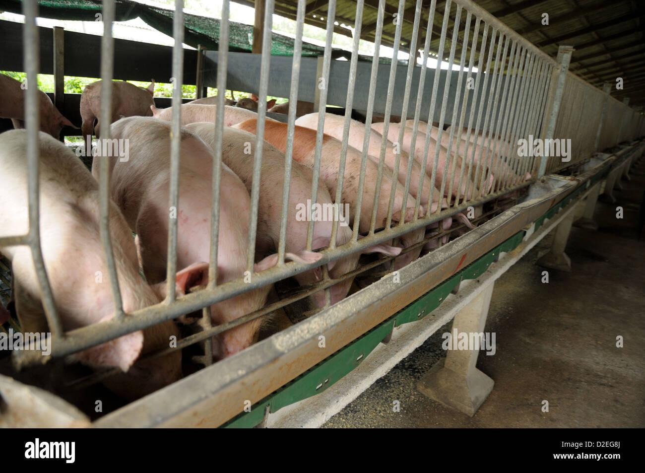 asian pig farming stock photos u0026 asian pig farming stock images