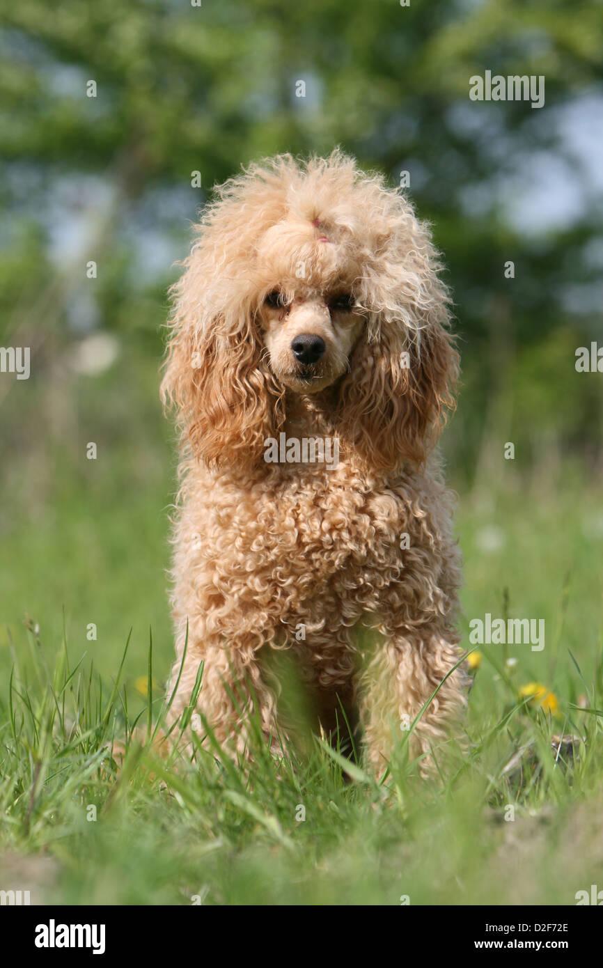 Dog Poodle Pudel Caniche Miniature Dwarf Nain