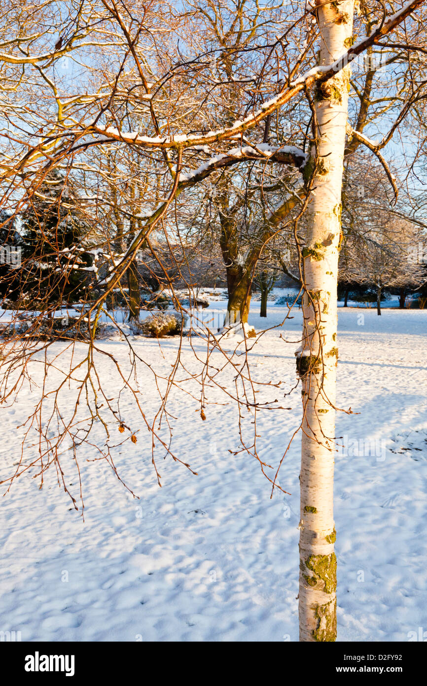 Birch trees in the winter stock photo image 2170700 - Photos Of White Birch Trees In The Winter Birch Trees