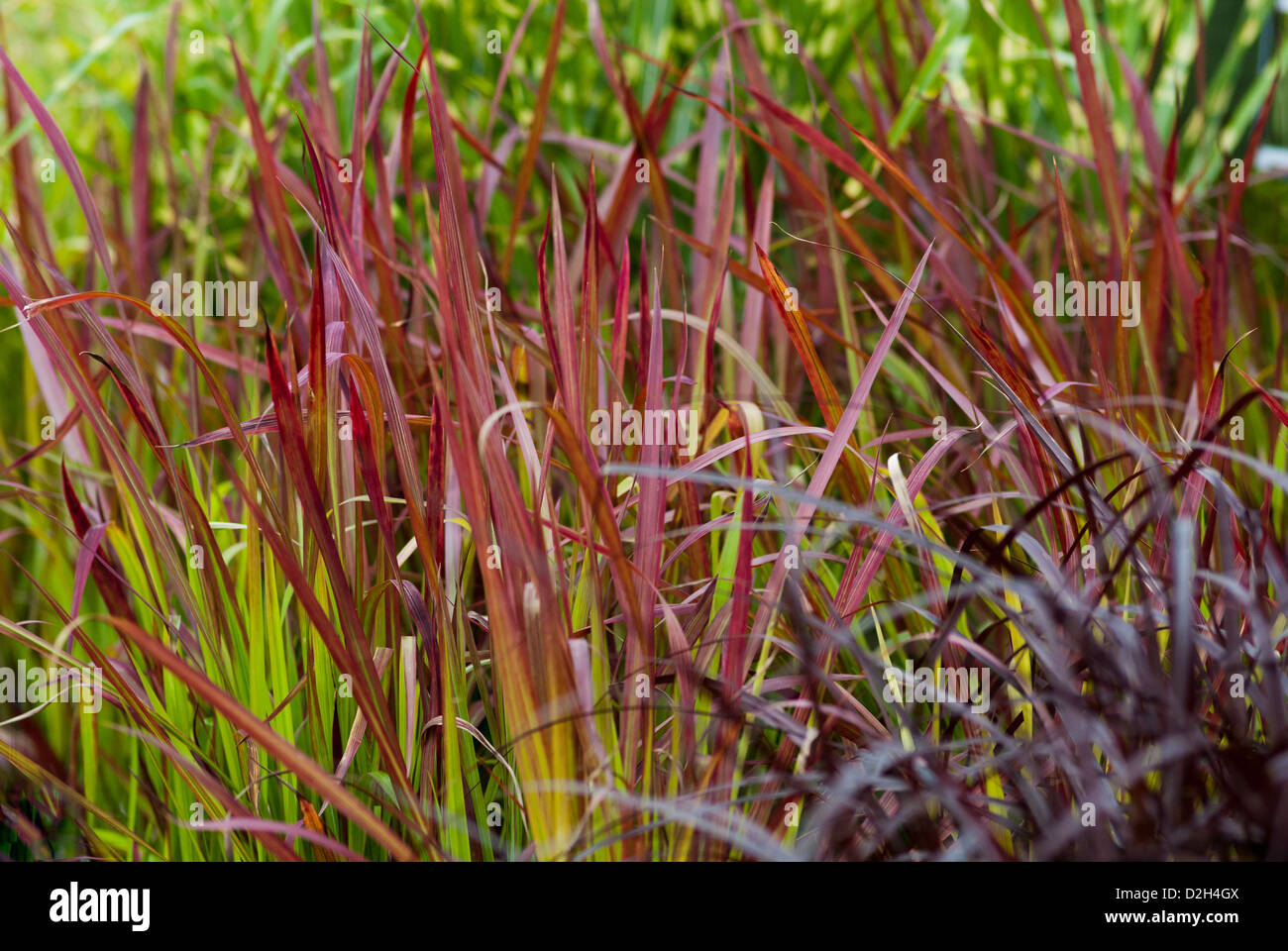 pennisetum setaceum rubrum and imperata cylindrica red baron stock photo royalty free image. Black Bedroom Furniture Sets. Home Design Ideas