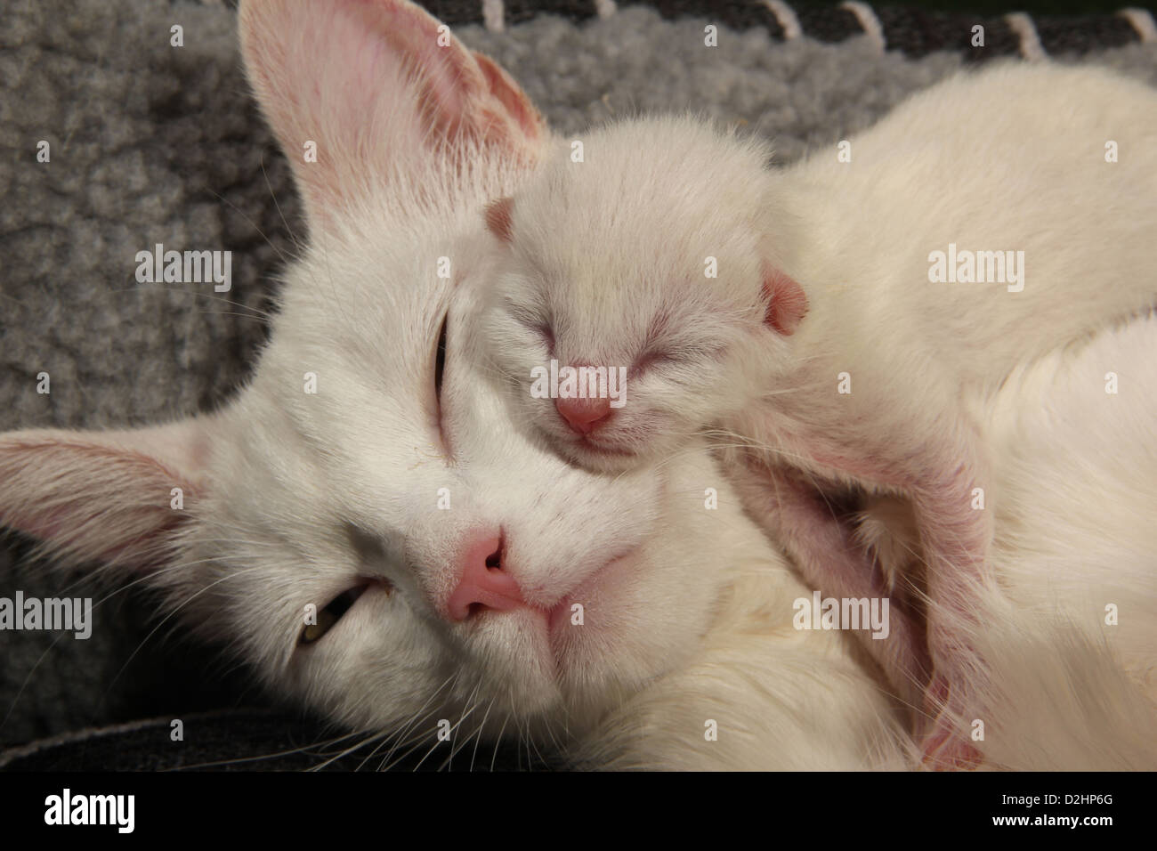 Domestic Cat White cat with newborn kittens 2 days old Stock