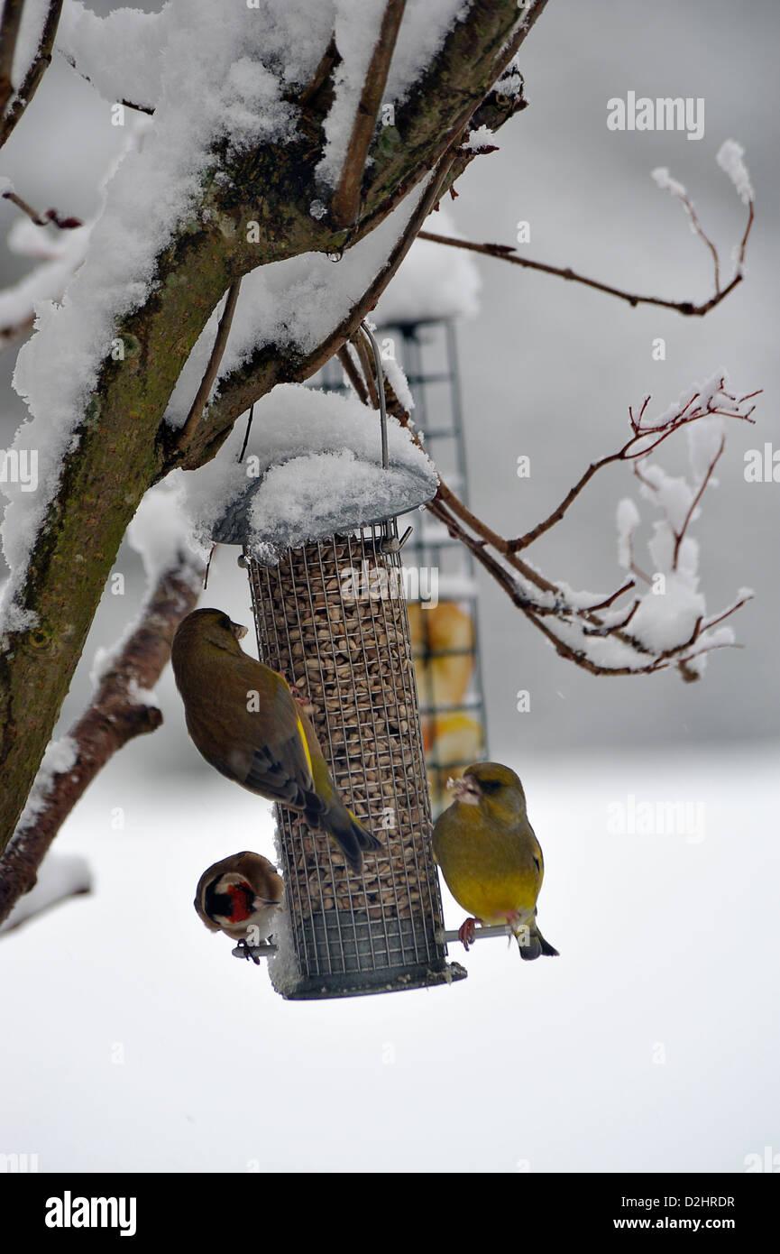 garden birds greenfinch and goldfinches on a bird feeder in