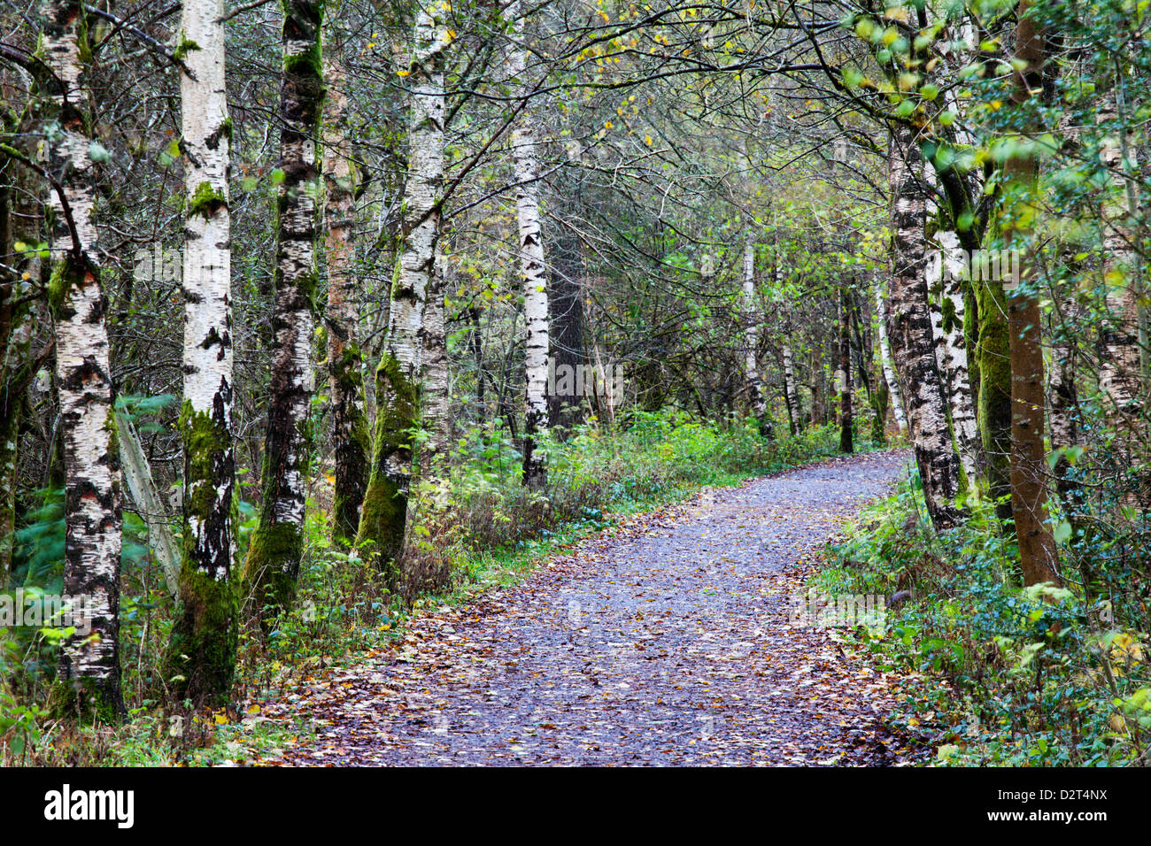 path in the birch - photo #29