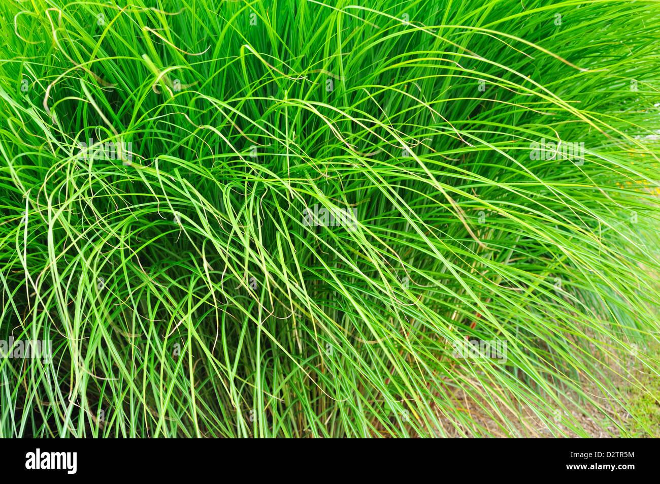Tall Decorative Grass Tall Ornamental Grass Stock Photo Royalty Free Image 53405456