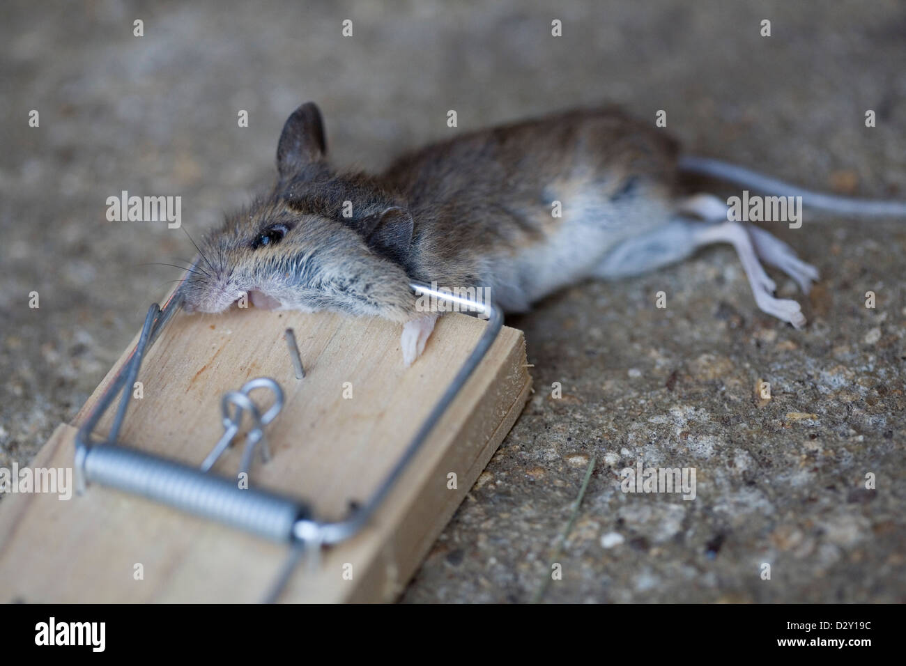 a common house mouse mus musculus lying dead in a