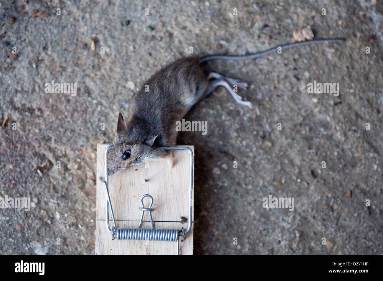 A common house mouse mus musculus lying dead in a for Mouse house music