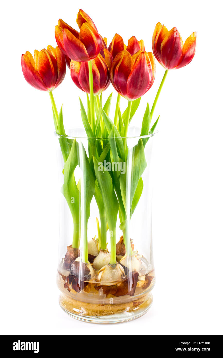 Red orange and yellow tulips growing inside a glass vase red orange and yellow tulips growing inside a glass vase displaying the bulbs below reviewsmspy