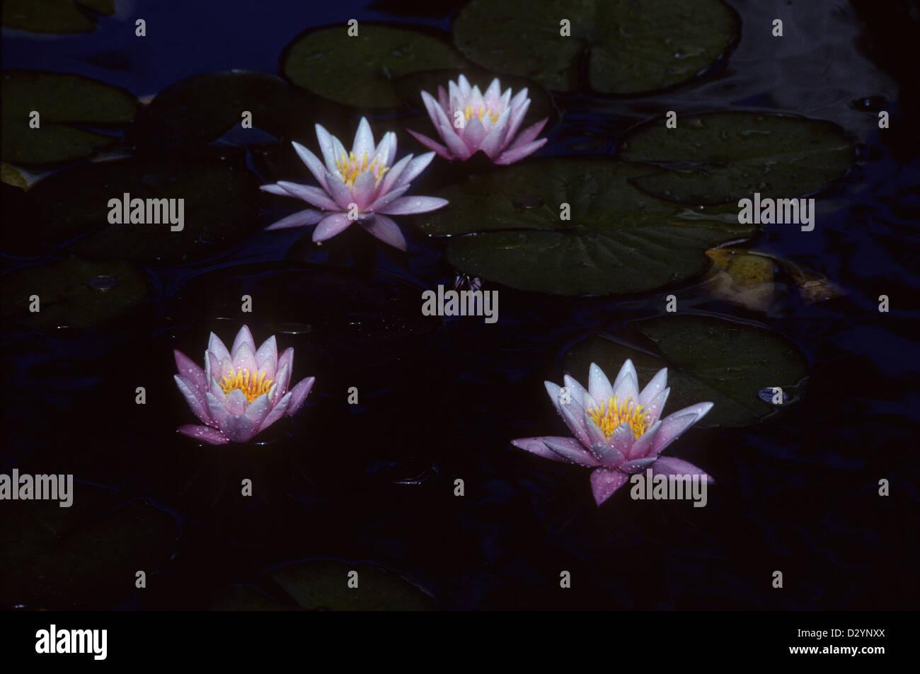 Water lilies woodleigh burlington prince edward island pei canada water lilies woodleigh burlington prince edward island pei canada izmirmasajfo
