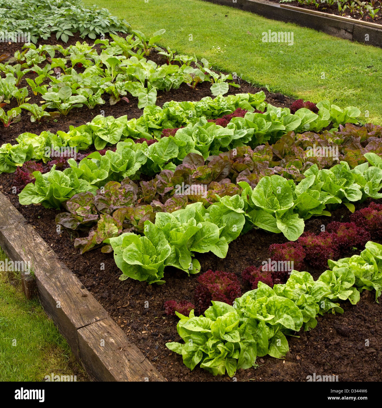 Rows of lettuce plants growing in vegetable garden easton for How to layout plants in a garden