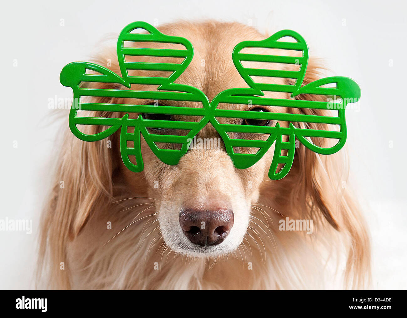 dog wearing green shamrock glasses for st patrick u0027s day stock
