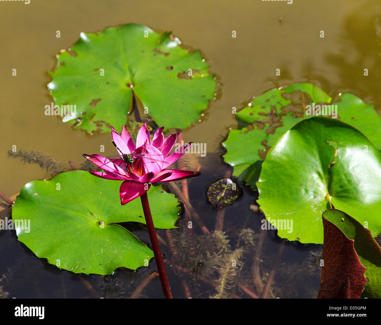 Dragonfly sits atop a lotis flower cambodia these flowers are a dragonfly sits atop a lotis flower cambodia these flowers are a symbol of buddhism biocorpaavc