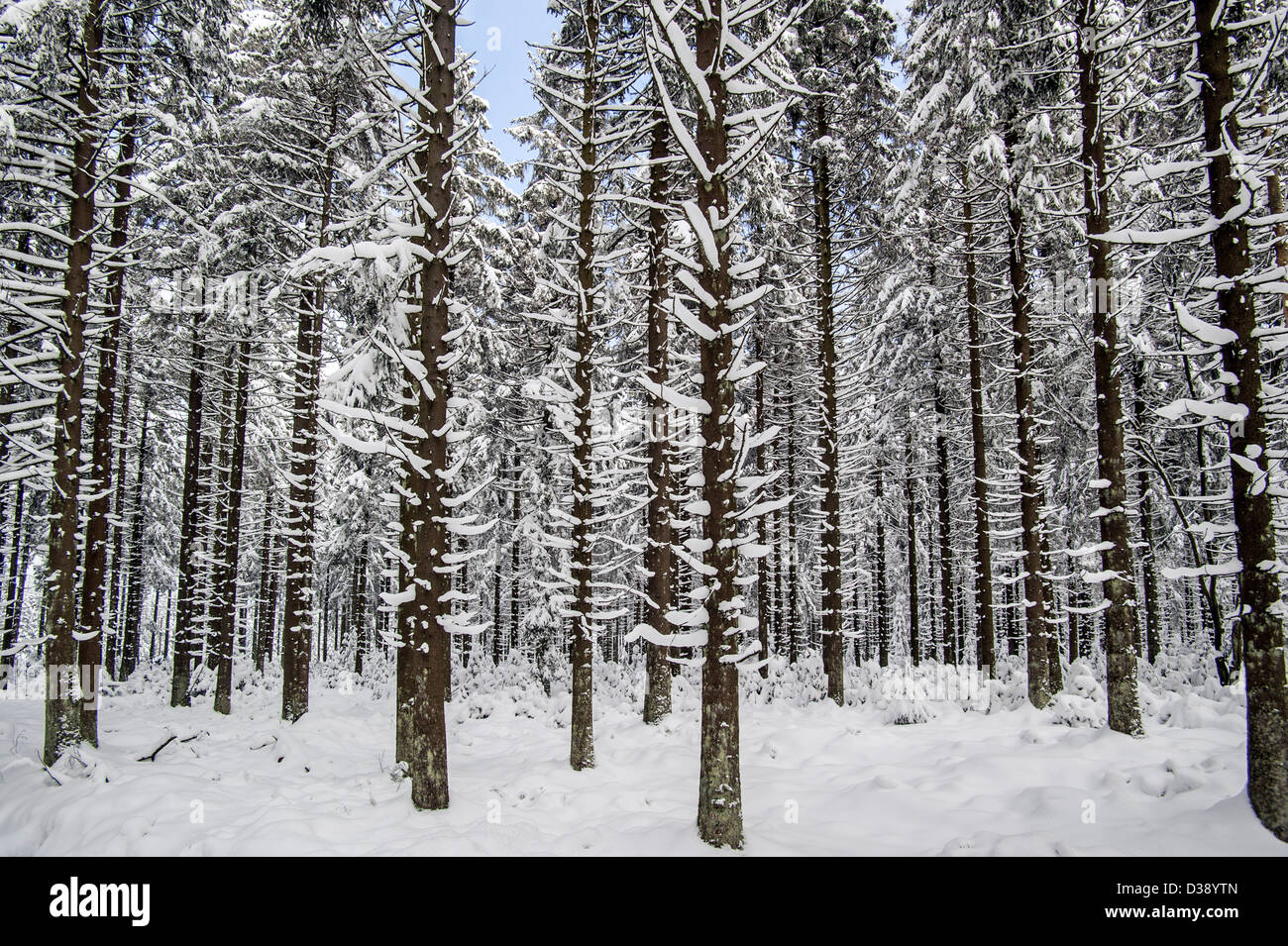 Snow covered pine trees in forest at the nature reserve - Images of pine trees in snow ...