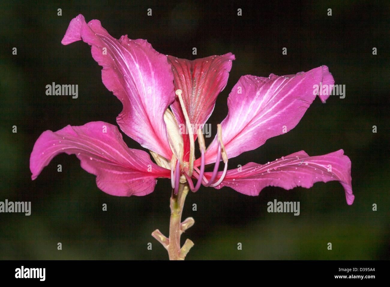 bauhinia flower stock photos u0026 bauhinia flower stock images alamy